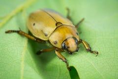 Grapevine beetle closeup Stock Image