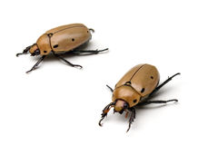 Grapevine Beetles Stock Photography