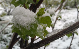 Grapevine begins with bud break after icy rain. Stock Photos