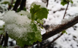 Grapevine begins with bud break after icy rain. Stock Image