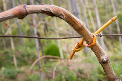 Grapevine branch tied Royalty Free Stock Photos