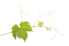 Grapevine branch Stock Photography