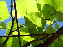 Grapevine branches. Grape, wine grape, purpleleaf grape, common grape, fox grape, concord grape, ashy grape, raisin, anggur - The grape is a berry, typically Royalty Free Stock Image