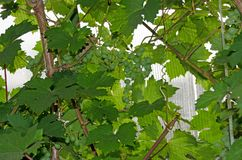 Grapevine with a bunch of grapes in summer stock photo