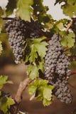 Grapevine Bushes Royalty Free Stock Photo