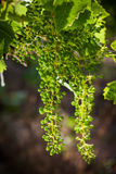 Grapevine Chardonnay Royalty Free Stock Photo