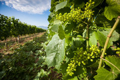 Grapevine Chardonnay Royalty Free Stock Photography