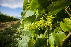 Grapevine Chardonnay Stock Photo