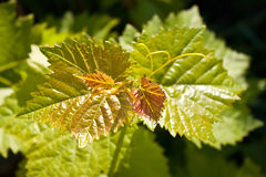 Grapevine Stock Photo