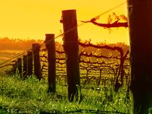 Grapevine closeup. Closeup of Vine Posts at Sunset Stock Images