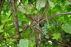 Grapevine with clusters of green unripe berries (Vitis L.).  stock photography