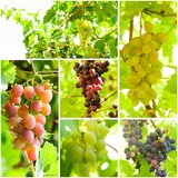 Grapevine collage Royalty Free Stock Photos
