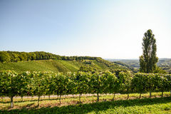 Grapevine and cottonwood tree in a vineyard in late summer, South Styria Austria Stock Photos