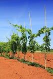 Grapevine in Croatia Royalty Free Stock Photos