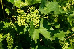 Grapevine Family, Grape, Vitis, Seedless Fruit Royalty Free Stock Photo