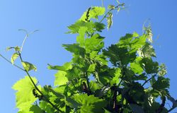 Grapevine Family, Leaf, Plant, Grape Leaves Stock Photos
