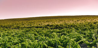 Grapevine field stock photo