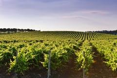 Grapevine field stock image