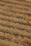 Grapevine field in autumn time. Olite, Navarra. Spain Royalty Free Stock Photography