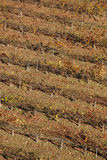 Grapevine field in autumn time. Olite, Navarra. Spain Royalty Free Stock Images