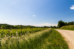 Grapevine field in the italian countryside Royalty Free Stock Images