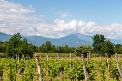 Grapevine field in the italian countryside Royalty Free Stock Image