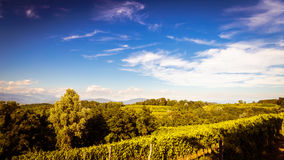 Grapevine field in the italian countryside Stock Images