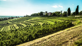 Grapevine field in the italian countryside Royalty Free Stock Photos