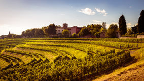 Grapevine field in the italian countryside Stock Photography