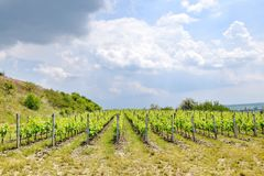 Grapevine Field in a row Agriculture Stock Photo. Grapevine Field Closeup Grapevine in a Row Field Agriculture Stock Photo stock photo