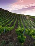 Grapevine fields royalty free stock photo