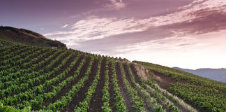 Grapevine fields royalty free stock image