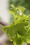 Grapevine flower transformation into a grape berry stock photo