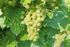 Grapevine with fresh green grapes. Grapevine on a sunny day ready for picking. Fresh and juicy grapes hanging on a branch Royalty Free Stock Image