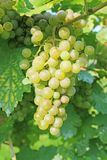 Grapevine with fresh green grapes. Grapevine on a sunny day ready for picking. Fresh and juicy grapes hanging on a branch Stock Images