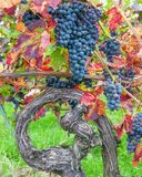 Grapevine,german Wine Route,Germany Royalty Free Stock Images