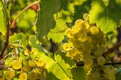 Grapevine of the grape variety Müller-Thurgau royalty free stock images