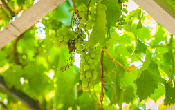 Grapevine, grapes Royalty Free Stock Photography
