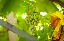 Grapevine, grapes Royalty Free Stock Images