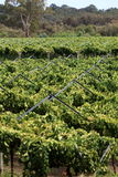 Grapevine 2. Grapes plantation in Western Australia's Swan Valley Stock Images