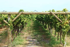 Grapevine 3. Grapevines in a vineyard in Swan Valley, Western Australia Royalty Free Stock Images