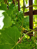 Grapevine. Green grapevine. Fruits still growing. Gardening stock photo
