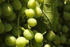 Grapevine. Green grape with green leaves background Stock Photo