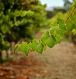 Grapevine. Green leaves on grapevine in California winery vineyard stock image