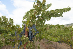 Grapevine with hanging blue clusters Royalty Free Stock Photo