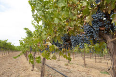 Grapevine with hanging blue clusters. Hanging clusters of organic Zinfandel grapes in California vineyard Stock Image