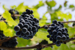 Grapevine with hanging bunches of red grape. Royalty Free Stock Images