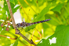 Grapevine Hawker. Male Migrant Hawker (Aeshna mixta) dragonfly on a grapvine stock image