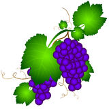 Grapevine illustration Stock Images