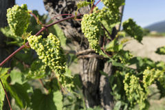 Free Grapevine Infected By Phylloxera Parasite In Vineyard Stock Photos - 76108473
